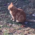 Meet Big Orange – The Feral Who was Already Fixed!