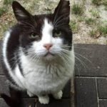 "Meet Oreo – ""Fake Feral"" Cat Numero Uno"