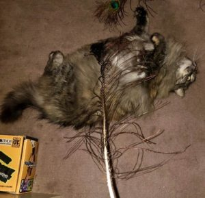 Fluffy playing with a feather