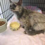 Farrah – The Senior Blind Miracle Stray Kitty That COULD