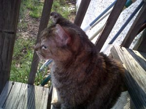 Tabby sitting outside - 2011