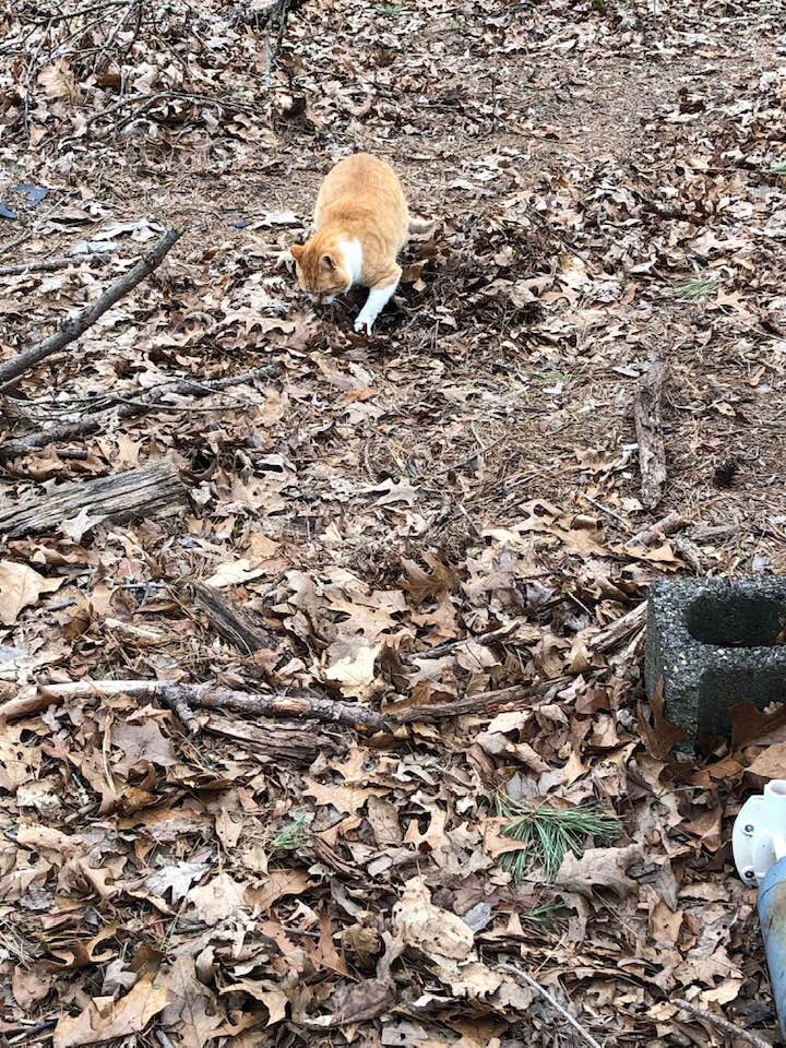 Creamsicle buff tabby, Teddy (feral), digging a big hole in the ground outside before he uses the bathroom.