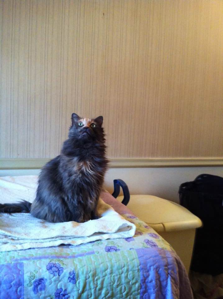 Our Maine Coon mix, Penny, sitting on the bed - 2013