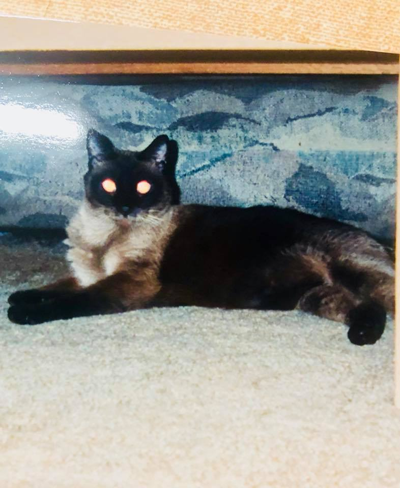 My Siamese mix Taz during Christmas of 2000. He was 4 years old.
